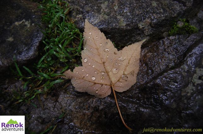 beautiful Maple leaf with dew drops on it